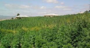 Dossier : Vers la légalisation du Cannabis