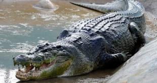 Maroc : Un crocodile sème la panique