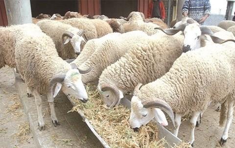 Moutons aid al adha maroc
