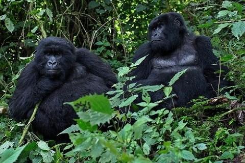 Gorilles origine du sida