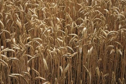 cereales maroc