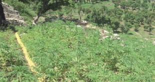 Légalisation du cannabis : Benkirane inflexible