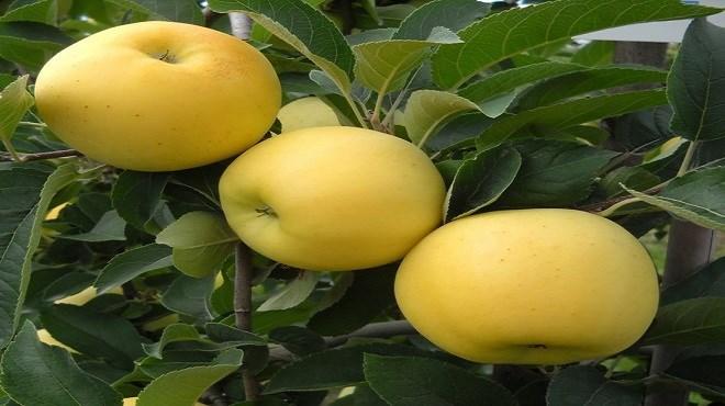 Pommes du Maroc : La production en baisse de 40%