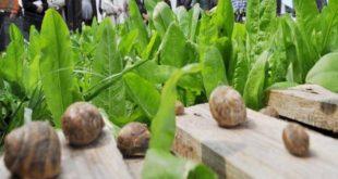 Héliciculture : L'escargot du Maroc célébré
