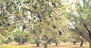 Olives du Maroc : Bonne progression de la production