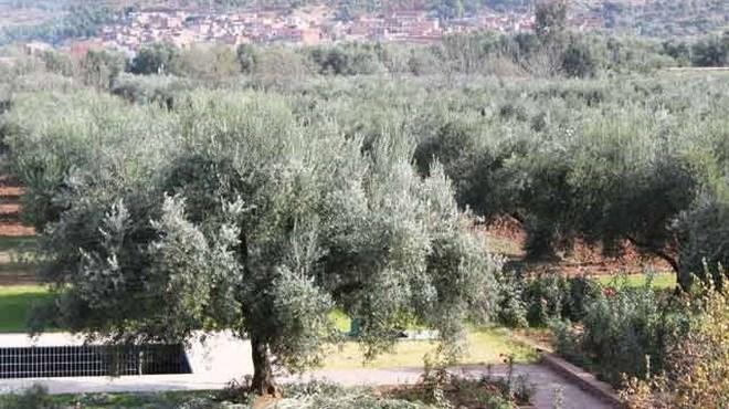 Maroc/Oriental : L'oléiculture en hausse