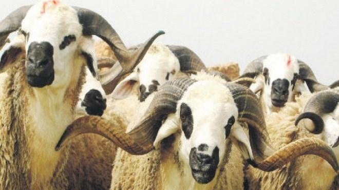 Maroc/Settat : 1er  Salon national du mouton «Sardi»
