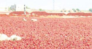 Filière Niora : Un secteur productif important