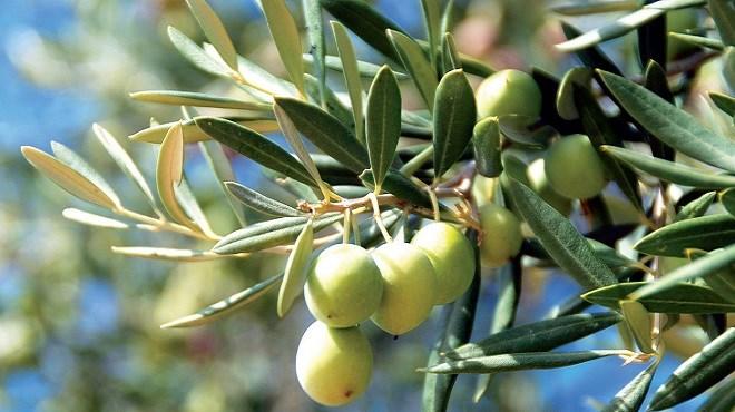 Devico: «Il faut privilégier l'olivier dans notre politique agricole»