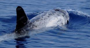 Le péril du dauphin noir : Les pêcheurs du nord s'en remettent au Roi