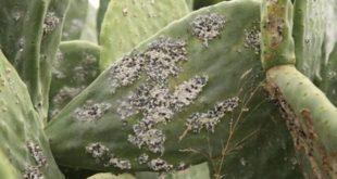 Cochenille du cactus : Une assistance technique de la FAO