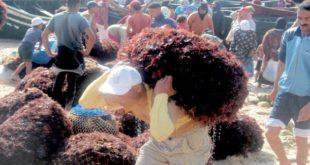 Maroc/Algues marines : Les bienfaits du plan d'aménagement