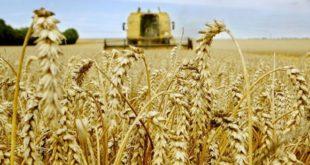 Maroc/Production céréalière 2016-2017 : Bonne campagne, mais pas de record…