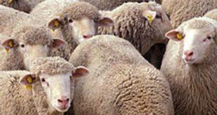 Moutons pourris de l'Aïd : L'identification des moutons, une solution au problème?