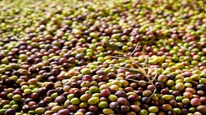Olives : Un record historique de production