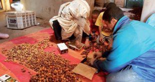 Palmier dattier : La rareté de la ressource hydrique inquiète