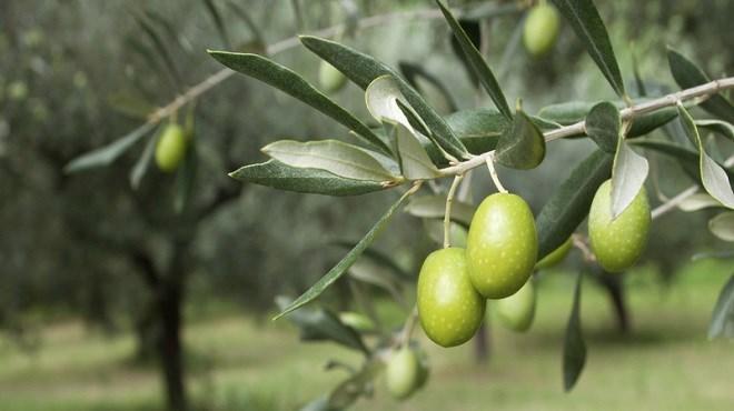 Ouazzane : 2ème Foire nationale de l'olivier