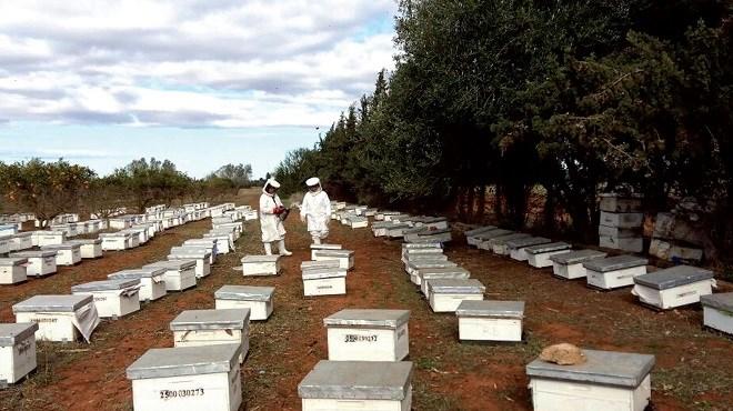 Zones côtières de l'Oriental : Miel, oliviers, algues… Cinq ans après