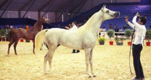 Filière équine : Le Maroc devient un challenger mondial
