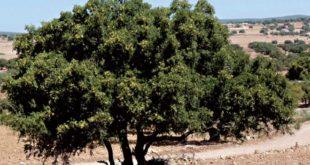 Arganiculture : Lancement d'un projet de plantation de 10.000 ha
