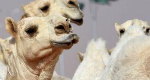 Hilarant, des chameaux disqualifiés d'un concours à cause du Botox !