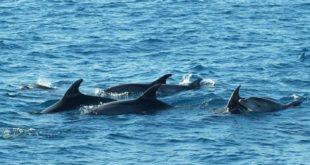 Dauphin noir : Une solution en faveur des pêcheurs !