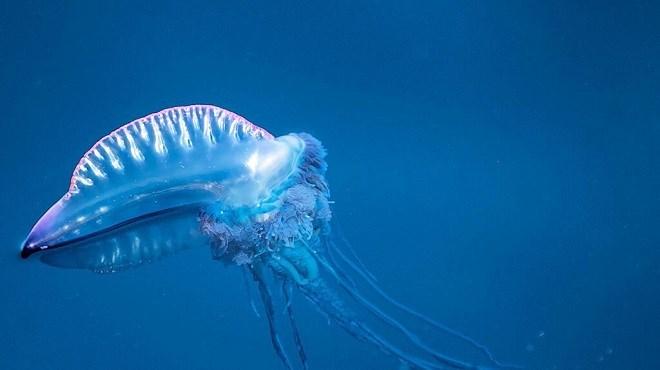 """Des animaux de mers """"dangereux"""" découverts sur la plage d'Anfa"""