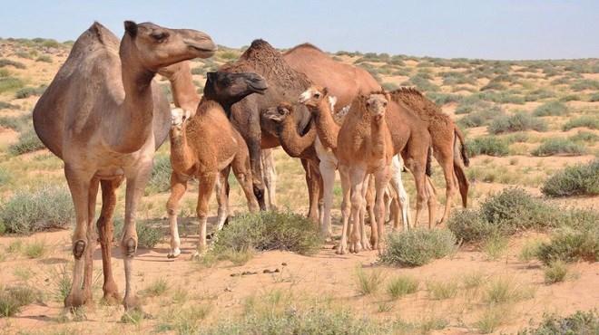 Elevage camelin : «La Caravane Phosboucraa» fait escale à Assa