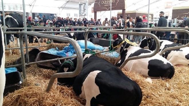 Agrégation de la filière laitière : Le projet «Fellah Bladi» est lancé