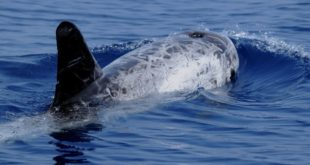 Le péril du dauphin noir : «Le Maroc doit faire la même chose que l'Espagne»