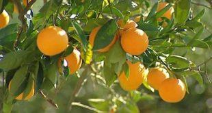 Agrumes : Accroitre les investissements par l'agrégation
