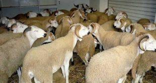 Aid Al Adha 2018 : 3,7 millions d'ovins et de caprins identifiés par l'ONSSA