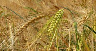 Céréales d'automne : Une production estimée à 13 millions de quintaux