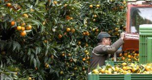 Filière agrumicole : Plus de 3 millions de journées de travail par an