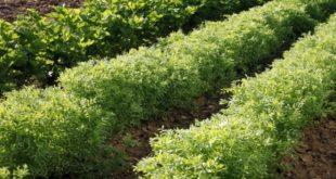 Campagne agricole : Près de 100.000 ha pour les légumineuses alimentaires