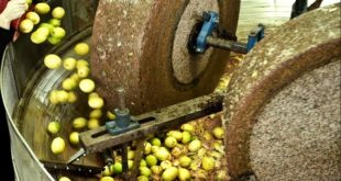Taounate : Dix unités de trituration d'olives interdites d'exercer