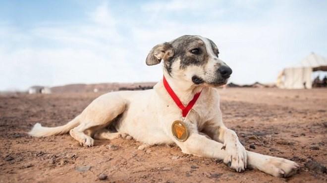 Quand un chien errant du Maroc domine le Marathon des sables (Photo)