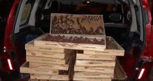 La Douane contribue à la protection d'espèces menacées : Saisie de 1680 chardonnerets à Oujda