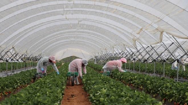 Huelva : Démarrage de la saison agricole de cueillette des fruits rouges