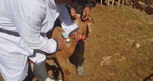 Vaccination contre la clavelée : L'opération serait-elle compromise dans la région de Casablanca ?