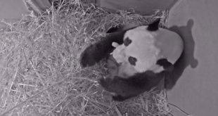 Pays-Bas   Naissance d'un panda géant