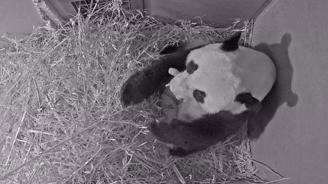Pays-Bas | Naissance d'un panda géant