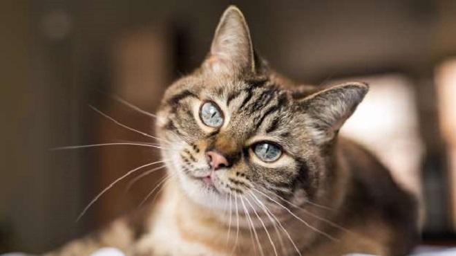 Un chat positif au coronavirus pour la 1er fois en France
