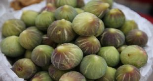 """La récolte des """"figues"""" démarre à Taounate"""
