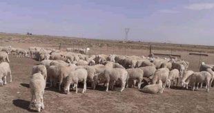 Aïd Al Adha | Le mouton envers et contre Covid-19 ?